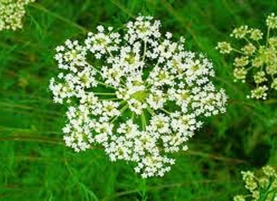 Herbal VIVA Super, thảo dược tăng cường sinh lý nam nữ cao cấp USA Cnidium-monnieri
