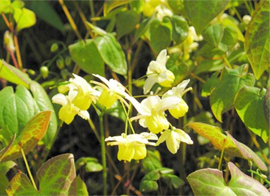 Herbal VIVA Super, thảo dược tăng cường sinh lý nam nữ cao cấp USA Epimedium