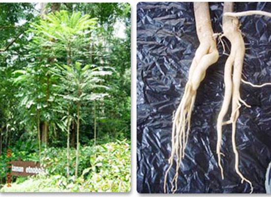 Topics tagged under testosteron on Diễn đàn Tuổi trẻ Việt Nam | 2TVN Forum Eurycoma-longifolia-extract
