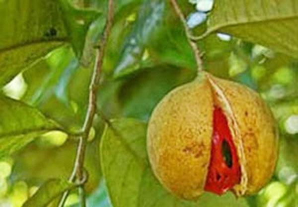 tang-cuong-sinh-luc-trica-juice-hat-nhuc-dau-khau